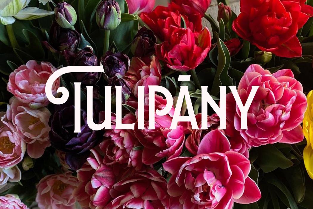 Tulipány — cibulky